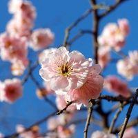 2012年3月  偕楽園の梅