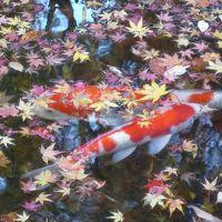 11月下旬 京都へ紅葉を観に行きました(古知谷阿弥陀寺・大原三千院) 前編