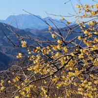 宝登山のロウバイが見頃です 2015年2月