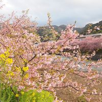 伊豆、満開の河津桜