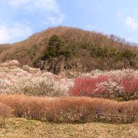 『湯河原梅林』梅の見納め集う花見客