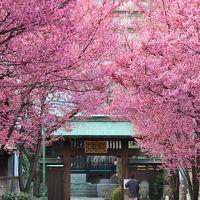 早咲きの桜を探しに