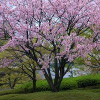 目黒桜まつり