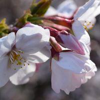 まだ三分咲き程度でしたが、1,000本の桜を満喫させていただきました