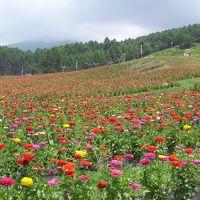 百日草が満開、富士見高原リゾート 花の里
