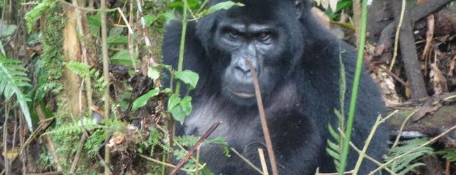 ウガンダ動物見物旅行ー特にマウンテンゴリラ