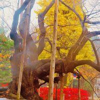 盛岡-4 石割桜 周囲ひと回り 樹齢360年以上  ☆盛岡地方裁判所構内に