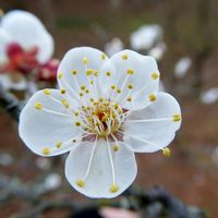 春を探しに「花の文化園」へ・・・1月は椿・ロウバイ・水仙が見頃、梅とユキワリイチゲも咲いています