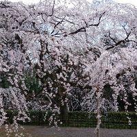 近衛邸跡の糸桜と寺町通