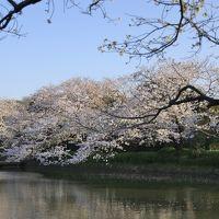 鎌倉で桜めぐり 〜光明寺・妙本寺から八幡宮 人の少ない穴場コース〜