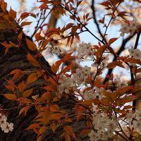 桜前線とともに顔を出す「さりげない花たち」