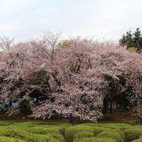 世田谷公園・蛇崩川緑道でお花見 2016年4月
