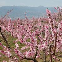 満開の桃と桜をめざして笹子峠を越える 笹子峠〜達沢山〜蜂城山〜釈迦堂〜大善寺