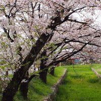 ダム&城巡りドライブ 武田神社の桜!甲府城にはちびっこ武者がいっぱい!深城ダムは放流中!