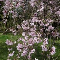 二条城の枝垂桜を愛でる。すばらしいところです。