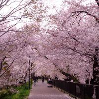 4月上旬 ゆっくり楽しむ高槻市北部の桜巡り