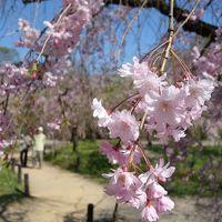 春の花を見るのなら,そう,植物園を外すわけにはいきません。枝垂桜も満開でした。