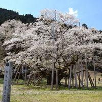 根尾谷の薄墨桜と桜の名所を訪ねる1000kmの旅