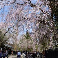 角館から花巻温泉経由、北上展勝地のさくら巡り旅(一日目)〜武家屋敷を見下ろすほど高く伸びた老桜を見上げると花の枝はまるでシャワーのよう。うららかな春の一日、しだれ桜の下をのんびりそぞろ歩きです〜