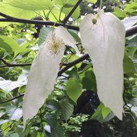 ハンカチの木という花を初めて見た小石川植物園