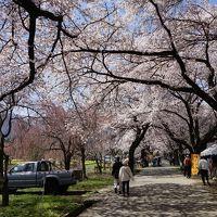 2016.4 満開の桜を訪ねて(2)〜眞原桜並木、三嶋大社