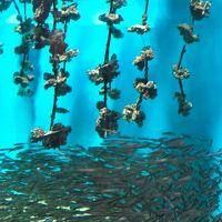 宮島-7 宮島水族館 スナメリ(瀬戸内のくじら)が主 ☆カキいかだの展示も