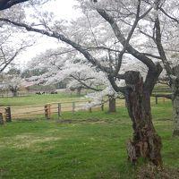 2016 GW  東北の温泉へ 【1】 東北道北上中、小岩井で桜の寄り道