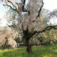 そうだ京都、行こう。桜めぐり  ・原谷苑 ・仁和寺の御室桜 ・京都御所「近衛桜」