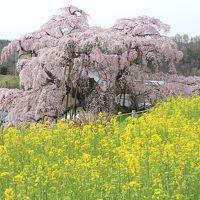 2016年4月 福島県内の桜の名所を巡る。【三春滝桜(昼)・霞ヶ城公園・花見山公園・合戦場のしだれ桜・三春滝桜(夜)】