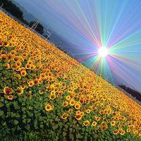 北杜市明野サンフラワーフェス2016 「盛夏のひまわり畑」 60万本の笑顔に会いに行って来ました!