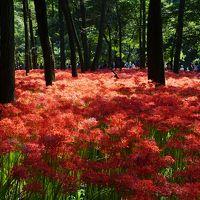 巾着田は今が盛りの曼珠沙華〜涼しげな林の下に広がる一面の赤い絨毯は、ツートンカラーの不思議な美しさ。そのスケール感もはるかに想像以上です〜