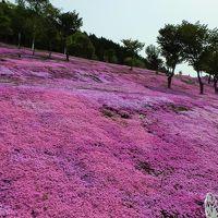 山肌が一面、ピンク色に染まる滝上町の芝ざくら
