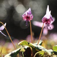 F友情報で山県市のカタクリの花