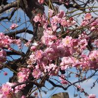 第40回世田谷梅まつり:羽根木公園 梅が丘 2017/02/25