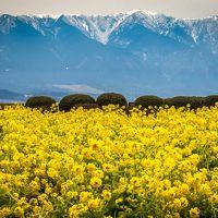 春の訪れ 菜の花 ♪ & 雪の 比良山 ・ 白壁の 八幡堀