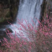 湯河原の梅・河津の桜・稲取の雛