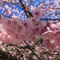2017 Mar 河津桜と温泉を楽しむ春の旅