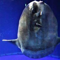 サンシャイン水族館-3 マンボウ/クラゲ./タコなど ☆有毒の魚もいて
