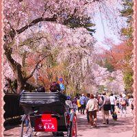角館のさくら劇場・・・しだれ桜と、ソメイヨシノの並木道と、ライトアップも〜〜欲張りだわっ!(2016年の桜)