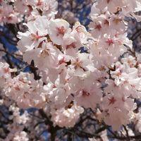 梅と桜とミズバショウ 甲府旅行