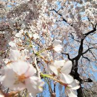 [報告] 2017年 気になる遅れている桜の開花 京都中を周って来ました!