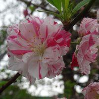桜を求めて千駄ケ谷から信濃町を歩く2017〜プチ駅からハイキングで色とりどりの桜を愛でる〜