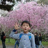 第八回福岡城さくらまつりの桜見物に孫と行って来ました。延長開催・最終日は満開の桜を楽しく見て回りました!!(^0^)