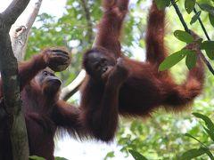 【2017年 マレーシア】娘に会いにマレーシアへ、でも勝手にブラブラ その11 6日目−2 オランウータンに会いにセメンゴ野生動物リハビリセンターへ