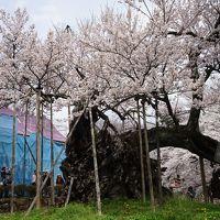 2017.4 満開の桜を訪ねて〜山高神代桜とシャトレーゼ白州工場見学