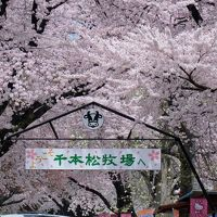桜を求めて�〜千本松牧場と烏ケ森の桜が見頃になりました。追加編