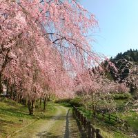 竹田の里しだれ桜祭りと丸岡城夜桜