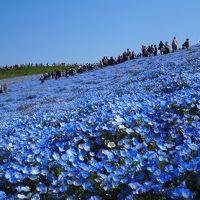 神秘のブルーに包まれたネモフィラの花畑♪ ひたちなかの大きな空。。☆彡