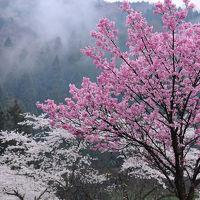 越前の春を旅する【1】〜桜咲く一乗谷〜