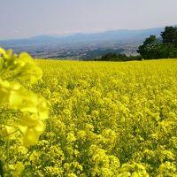 三ノ倉スキー場・一面の菜の花